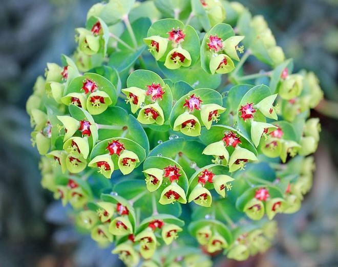 Euphorbia × Martinii 'Tiny Tim', Martin's Spurge 'Tiny Tim', Drought tolerant perennial, Deer resistant perennial, rabbit resistant